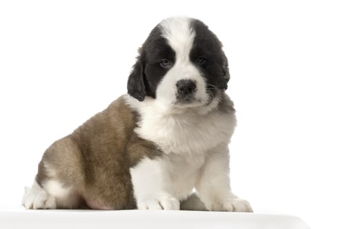 Perro San Bernardo Cachorro
