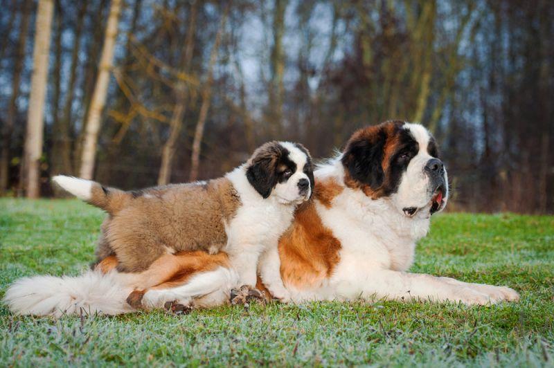 perro San Bernardo con cachorro
