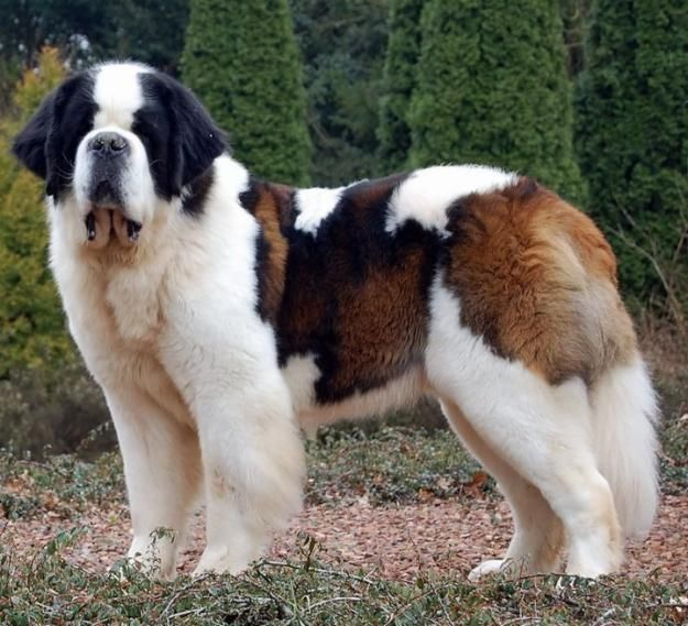 perro san Bernardo parado