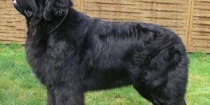 perro Terranova Negro