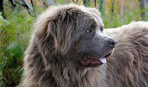 perro terranova gris