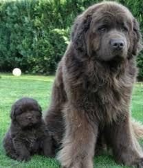 perro Terranova negro sentado con cachorro