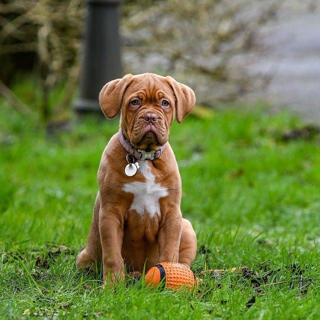 Dogo de Burdeos cachorro