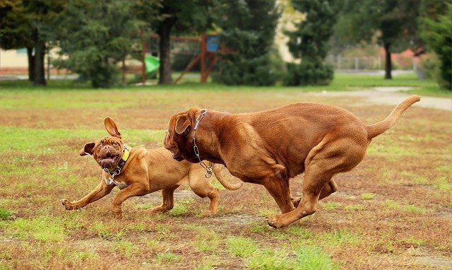 Dogo de Burdeos jugando con cachorro