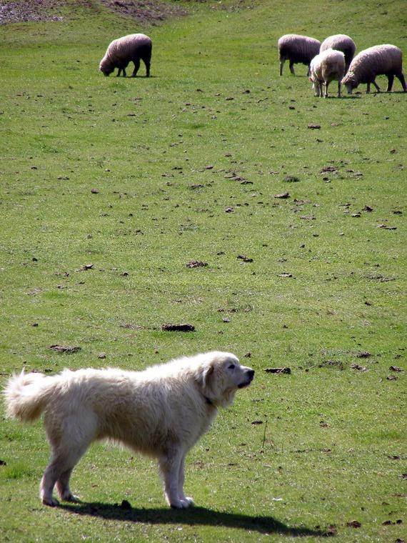 Perro Montaña de los Pirineos con ovejas