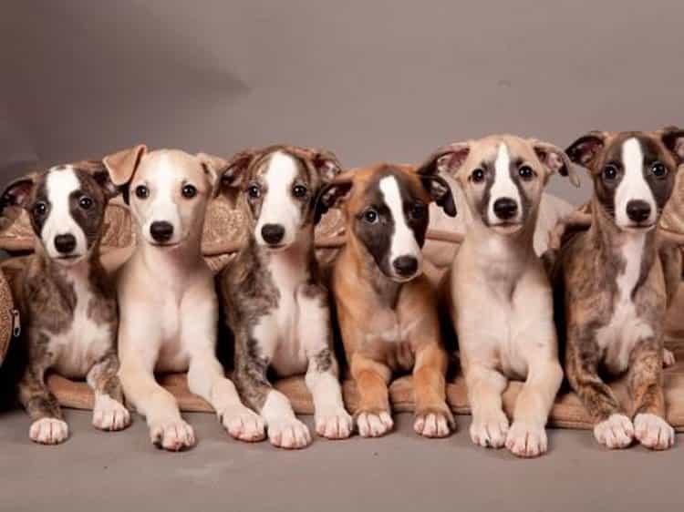 cachorros de Whippet
