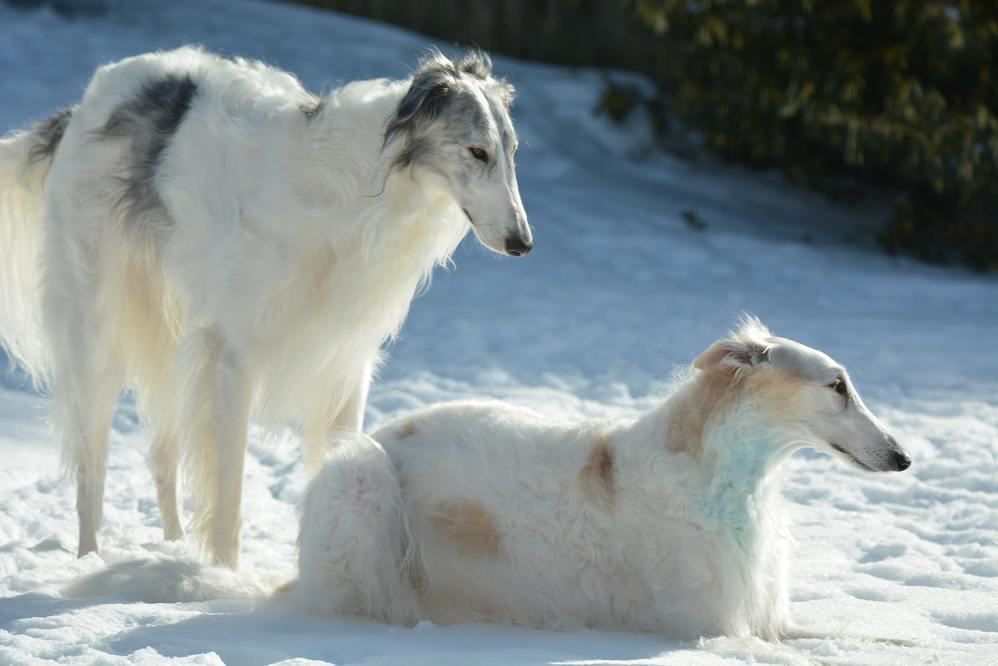Borzoi en la nieve
