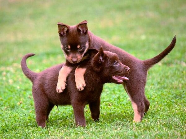Kelpie Australino cachorros jugando