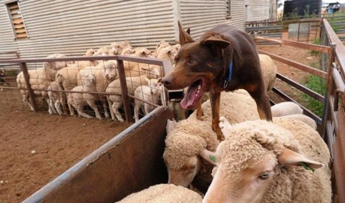Kelpie Australino corriendo sobre ovejas