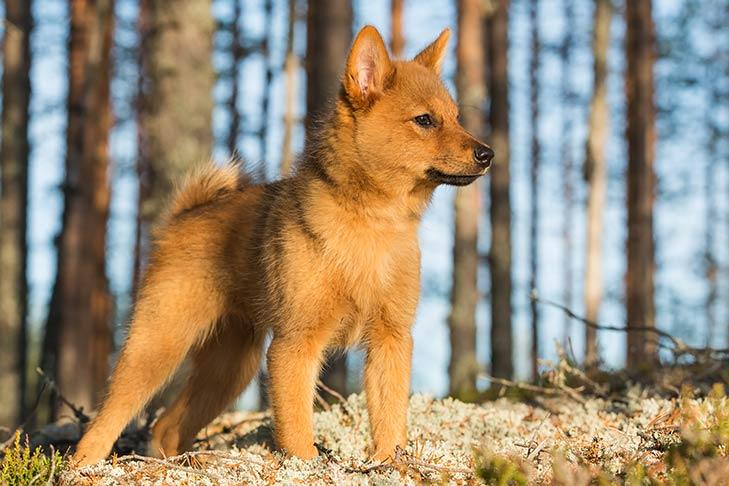 Spitz Finlandés cachorro