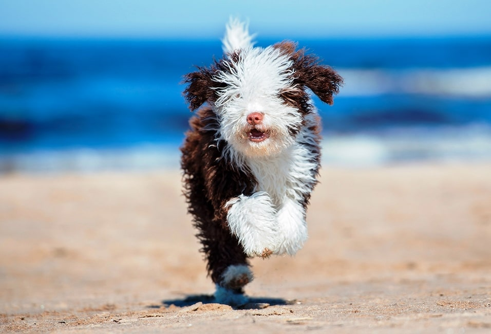 Perro de Agua Español corriendo