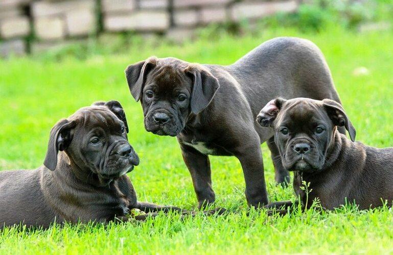 cachorros de Mastín Napolitano interactuando / Socialización de cachorros