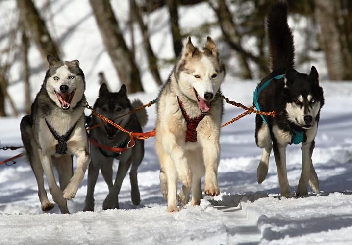Husky Siberianos en trineo