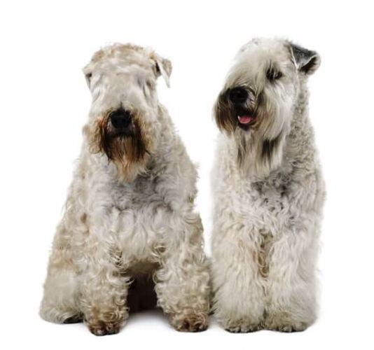 dos Terrier de Pelo Suave de Irlanda sentados con fondo blanco