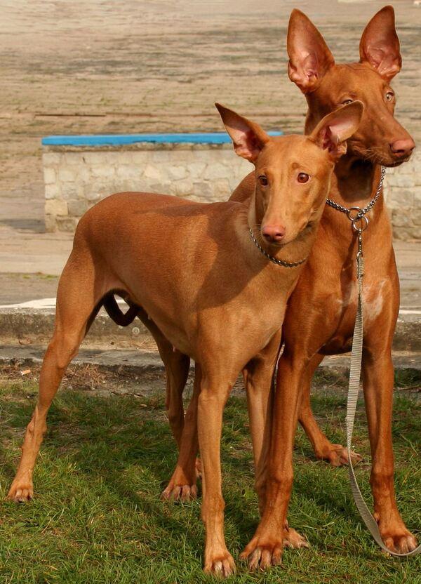 Dos perros del faraón uno junto al otro, de frente