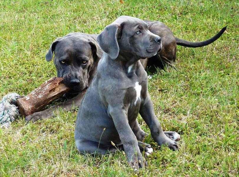 Cane Corso cachorro sentado y madre detrás mordiendo un tronco