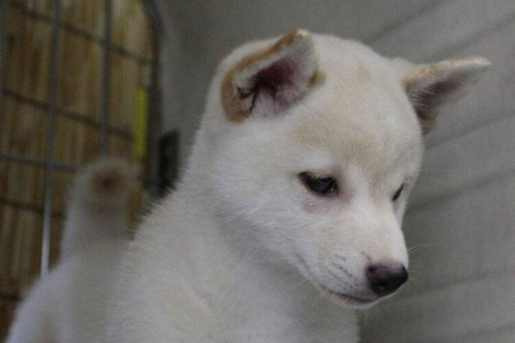 cachorro de Kishu Inu