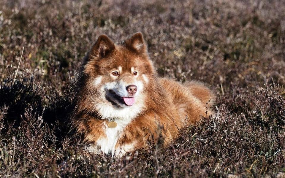 Perro Finlandés de Laponia
