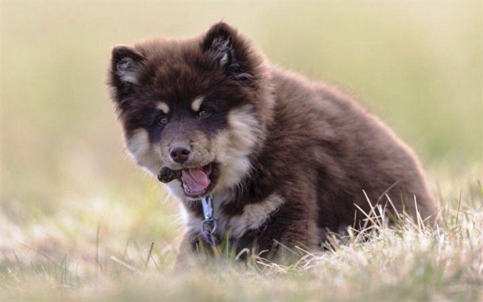Perro Finlandés de Laponia cachorro