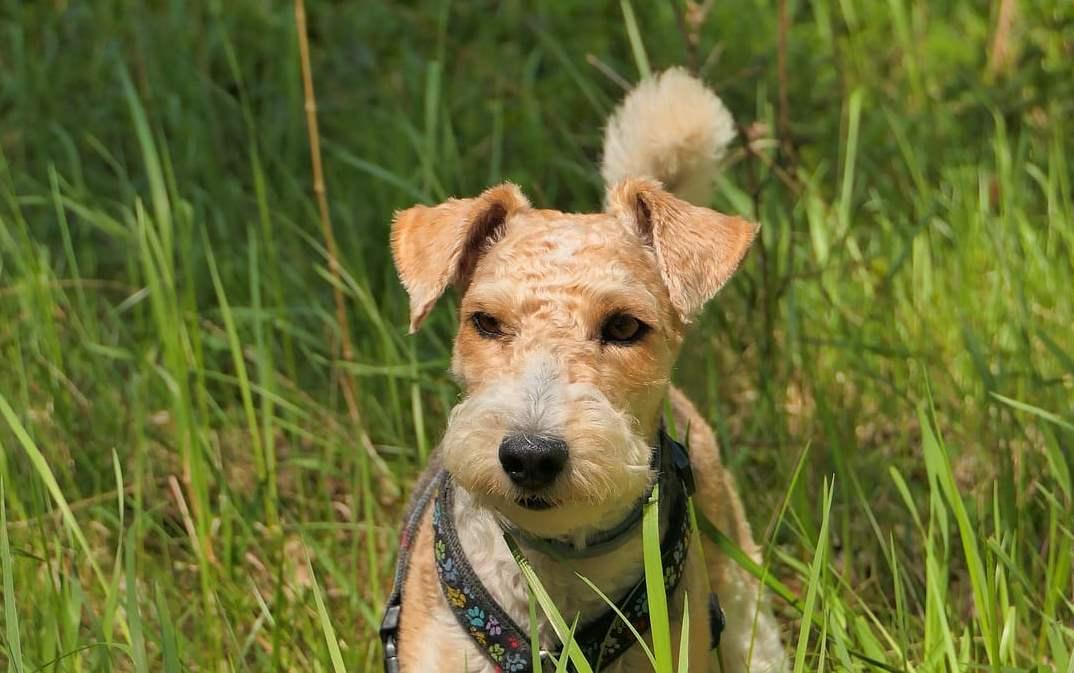 Fox Terrier pelo duro
