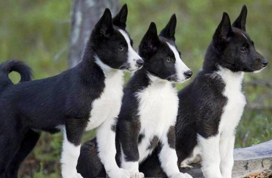 cachorro de Perro de Osos de Carelia