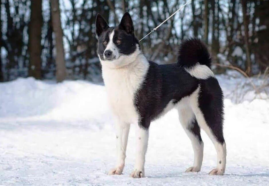 Perro de Osos de Carelia en la nieve